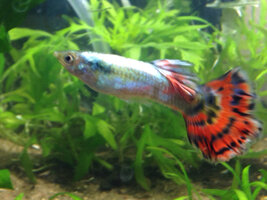 ImageUploadedByFish Lore Aquarium Fish Forum1425197074.870471.jpg