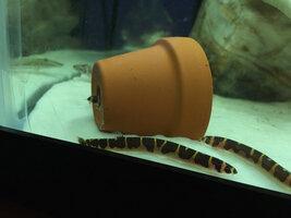 ImageUploadedByFish Lore Aquarium Fish Forum1425528540.929250.jpg