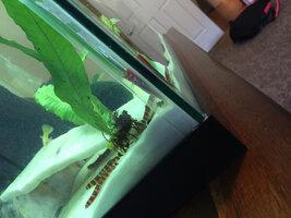ImageUploadedByFish Lore Aquarium Fish Forum1425528621.894744.jpg