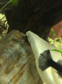 ImageUploadedByFish Lore Aquarium Fish Forum1425528713.928387.jpg