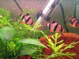 ImageUploadedByFish Lore Aquarium Fish Forum1425918150.287223.jpg