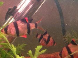 ImageUploadedByFish Lore Aquarium Fish Forum1425918199.007484.jpg