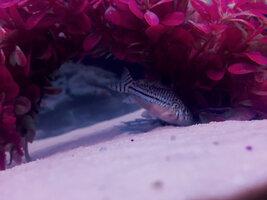 ImageUploadedByFish Lore Aquarium Fish Forum1426015382.025306.jpg