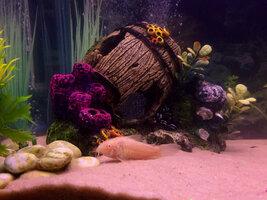 ImageUploadedByFish Lore Aquarium Fish Forum1426105051.046459.jpg