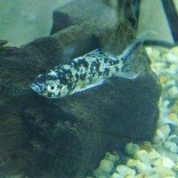 ImageUploadedByFish Lore Aquarium Fish Forum1426350367.983744.jpg