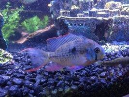 ImageUploadedByFish Lore Aquarium Fish Forum1427459348.130653.jpg