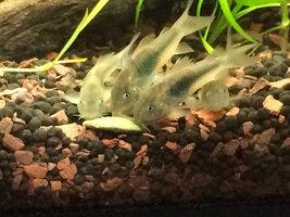 ImageUploadedByFish Lore Aquarium Fish Forum1429614278.773182.jpg
