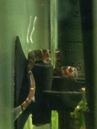 ImageUploadedByFish Lore Aquarium Fish Forum1430268378.485302.jpg