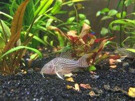 ImageUploadedByFish Lore Aquarium Fish Forum1431918825.056554.jpg