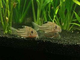 ImageUploadedByFish Lore Aquarium Fish Forum1434944696.070151.jpg