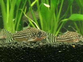 ImageUploadedByFish Lore Aquarium Fish Forum1434944722.380163.jpg