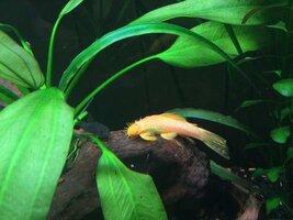 ImageUploadedByFish Lore Aquarium Fish Forum1436877888.020072.jpg