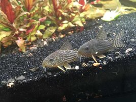ImageUploadedByFish Lore Aquarium Fish Forum1436889653.869755.jpg