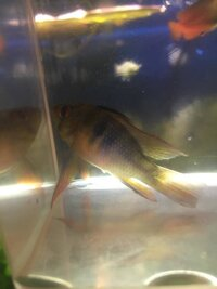 ImageUploadedByFish Lore Aquarium Fish Forum1437851180.681163.jpg