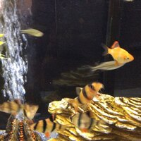 ImageUploadedByFish Lore Aquarium Fish Forum1437891828.537765.jpg