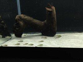 ImageUploadedByFish Lore Aquarium Fish Forum1438608303.045881.jpg