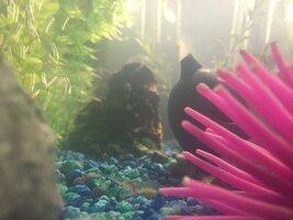 ImageUploadedByFish Lore Aquarium Fish Forum1439774686.221251.jpg