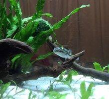 ImageUploadedByFish Lore Aquarium Fish Forum1442164042.937292.jpg