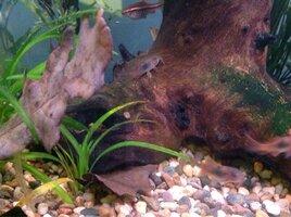 ImageUploadedByFish Lore Aquarium Fish Forum1444836137.103901.jpg