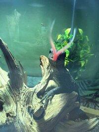 ImageUploadedByFish Lore Aquarium Fish Forum1445794507.597552.jpg