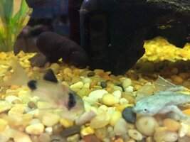 ImageUploadedByFish Lore Aquarium Fish Forum1445906008.521041.jpg