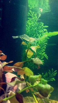 ImageUploadedByFish Lore Aquarium Fish Forum1454035896.347132.jpg