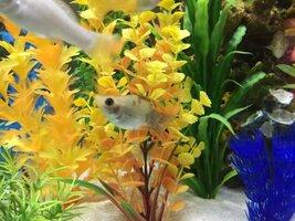 ImageUploadedByFish Lore Aquarium Fish Forum1454185801.566349.jpg
