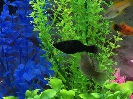 ImageUploadedByFish Lore Aquarium Fish Forum1454186022.011753.jpg