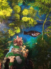 ImageUploadedByFish Lore Aquarium Fish Forum1455623984.028826.jpg