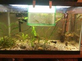 ImageUploadedByFish Lore Aquarium Fish Forum1455982551.728820.jpg