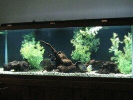 ImageUploadedByFish Lore Aquarium Fish Forum1456424384.217935.jpg