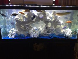 ImageUploadedByFish Lore Aquarium Fish Forum1456435206.234781.jpg