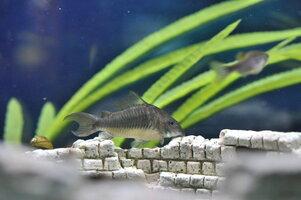 emerald cat fish 9-15-16.jpg