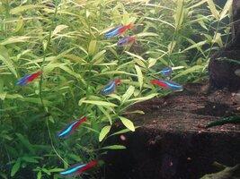 17.01.15 Neon Tetra Cube Aquarium Steve Joul (2) - Copy.JPG