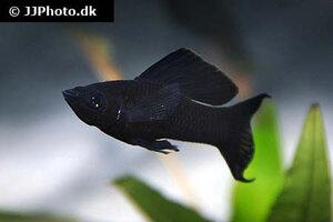 poecilia-latipinna-black-molly-4.jpg