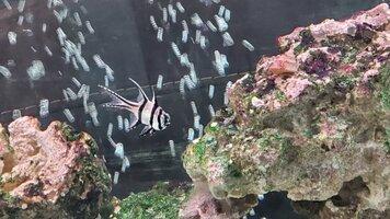 Bangaii Cardinalfish.jpg