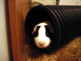 Guinea Pigs 14.01.11 (8).JPG