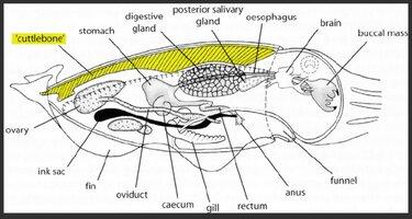 cuttlefish diagram.JPG