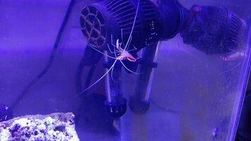 Cleaner shrimp 11-30.jpg
