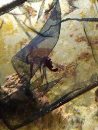 Frogfish in net.jpg