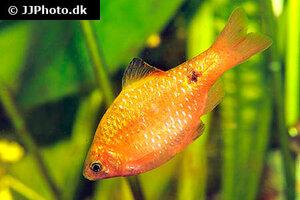 pethia-conchonius-golden-4.jpg