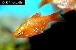 pethia-conchonius-neon12.jpg