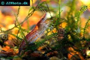 neocaridina-davidi-red-shrimp-1.jpg