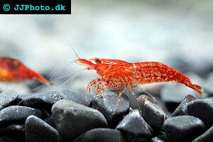 neocaridina-davidi-red-shrimp-2.jpg