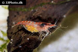 neocaridina-davidi-red-shrimp-8.jpg