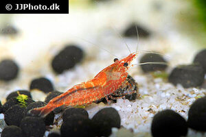 neocaridina-davidi-red-shrimp-11.jpg