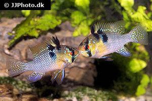 mikrogeophagus-ramirezi-13.jpg