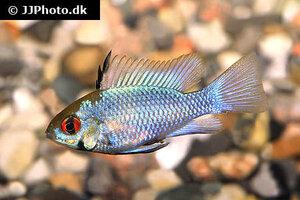 mikrogeophagus-ramirezi-electric-blue-1.jpg