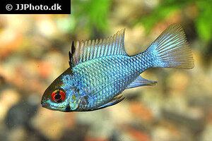 mikrogeophagus-ramirezi-electric-blue-2.jpg