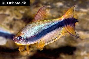 nematobrycon-palmeri-20.jpg